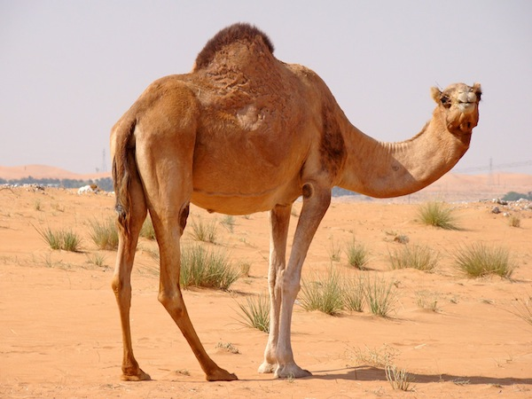 camels in the bible